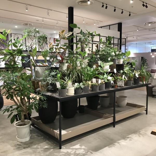 お部屋に観葉植物はいかがですか